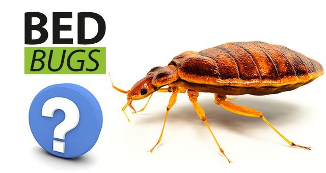Fantastic Faqs About Bed Bug Elimination And Prevention Sylvane Short Links Chair Design For Home Short Linksinfo